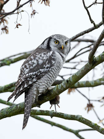 Northern Hawk Owl in its habitat in northern Zealand, Denmark