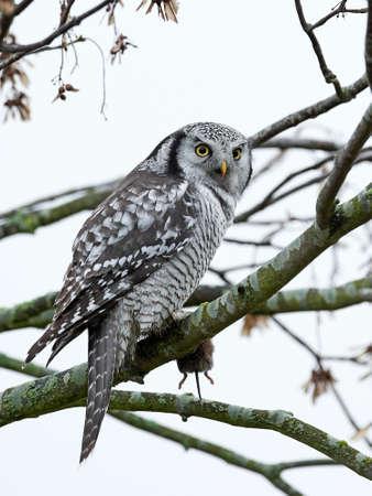 Northern Hawk Owl nel suo habitat nel nord della Zelanda, Danimarca