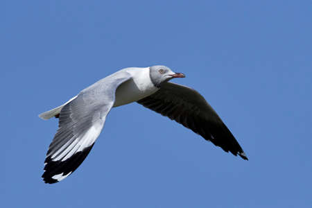 Grey-headed gull in flight with blue skies in the background Stock fotó
