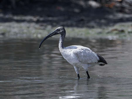 African sacred ibis in its natural habitat in The Gambia