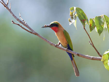 Red-throated bee-eater in its natural habitat in Senegal Stock fotó