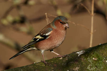 Common chaffinch in its natural habitat in Denmark