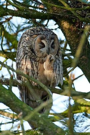 Long-eared owl in its natural habitat in Denmark