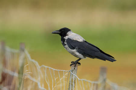 Hooded crow sitting on a fence