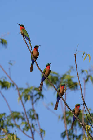 Red-throated bee-eaters in their natural habitat in Gambia