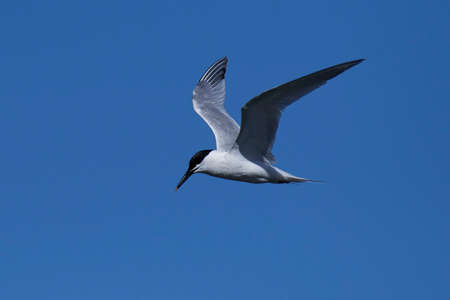 Sandwich tern in flight with blue skies in the background