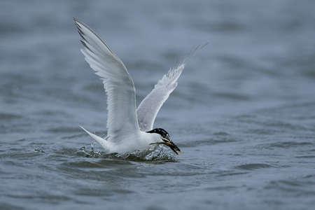 Sandwich tern in its natural habitat in Denmark Reklamní fotografie - 138640126
