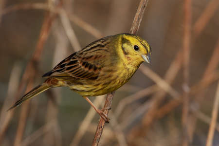 Yellowhammer in its natural habitat in Denmark