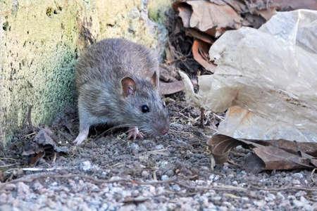 Brown rat in the capital of Denmark, Copenhagen