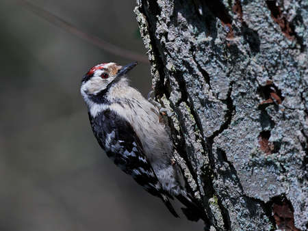 Lesser spotted woodpecker in its natural habitat in Denmark