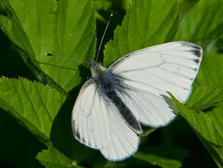Green-veined white in its natural habitat in Denmark