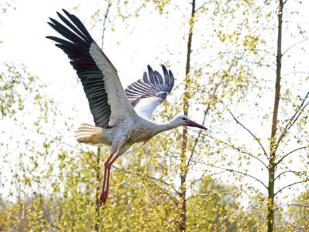 White stork in its natural habitat in Scandinavia Banco de Imagens