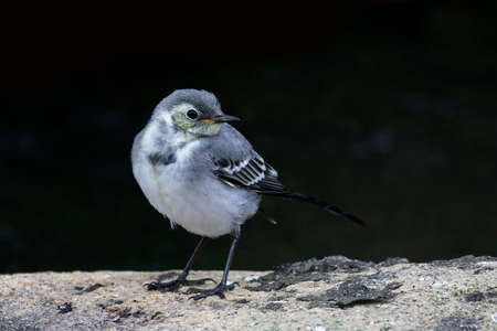 Juvenile white wagtail resting on a rock on a black background