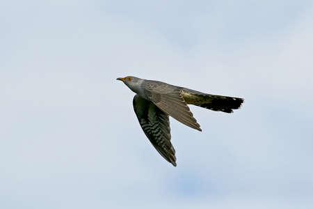 Common cuckoo in flight with blue skies in the background Zdjęcie Seryjne