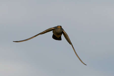Common cuckoo in flight in its natural enviroment Stock Photo