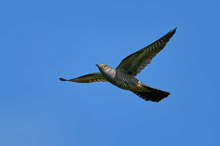 Common cuckoo in its natural enviroment Stock Photo