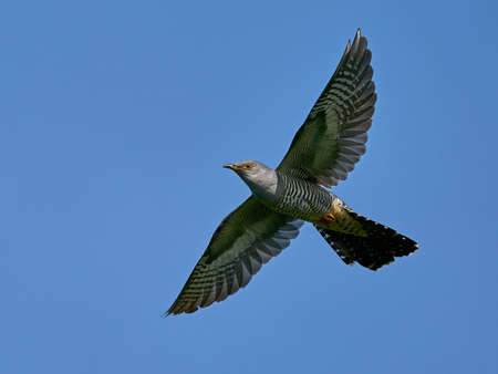 Common cuckoo in its natural enviroment