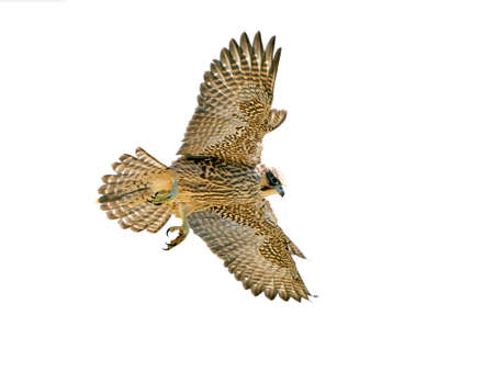 Juvenile Peregrine falcon in flight isolated on a white background