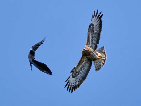Common buzzard chasing a Hooded crow in flight Banque d'images