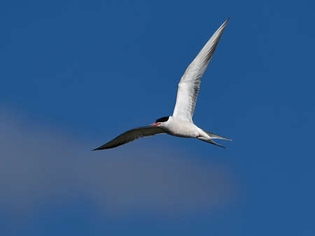 Common tern in flight in its natural enviroment Stock Photo