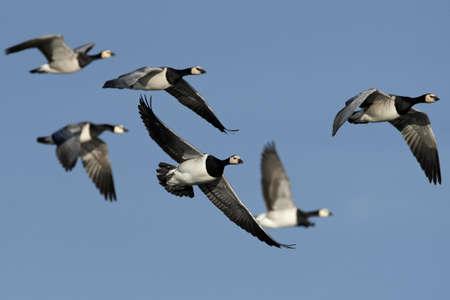 Barnacle geese in flight in their habitat in Denmark