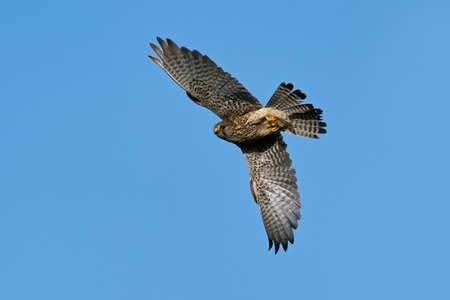 Common kestrel in its natural enviroment