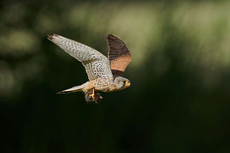 Common kestrel in its natural enviroment in Denmark with a mouse in its claws
