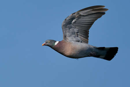 Common wood pigeon in flight with blue skies in the background