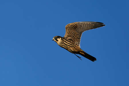 Eurasian hobby in flight in its natural enviroment in Denmark Banque d'images