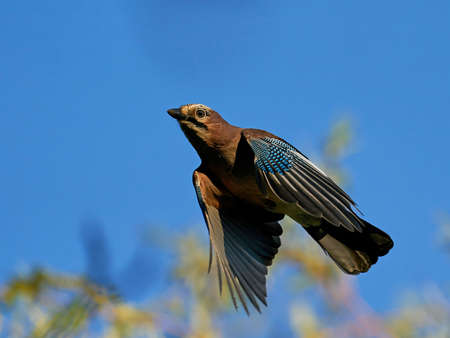 Eurasian jay in flight with blue skies in the background