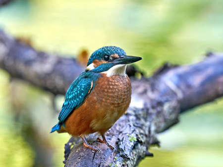 Common kingfisher in its natural enviroment in Denmark