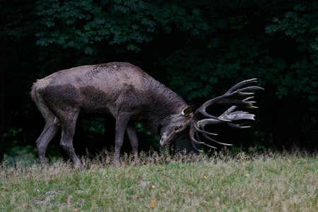 Red deer in its natural habitat in Denmark Standard-Bild