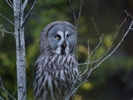 Great grey owl in its natural habitat in sweden