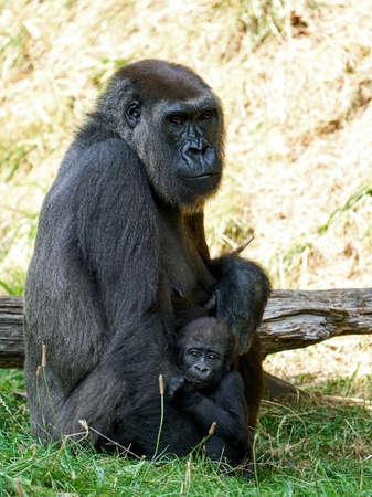 Western lowland gorilla in its natural enviroment