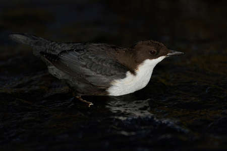 White-throated dipper in its natural enviroment in Denmark