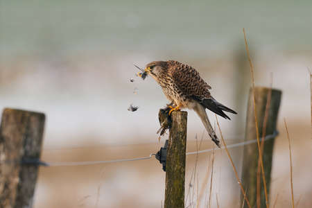 Common kestrel in its natural enviroment eating a little bird