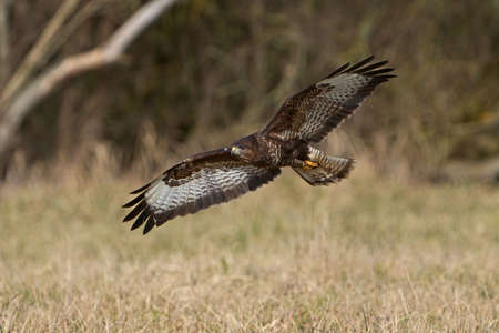 Common buzzard (Buteo buteo) in its natural habitat in Denmark