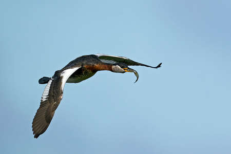 Red-necked grebe in flight with a fish in its beak Standard-Bild