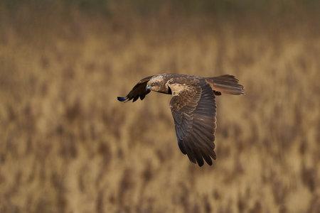 Western marsh harrier in its natural habitat in Denmark