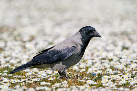 Hooded crow in its natural habitat in Denmark