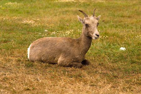 hircus: Domestic goat (Capra hircus) resting on grass Stock Photo