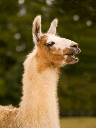 Lama in front of green foliage photo