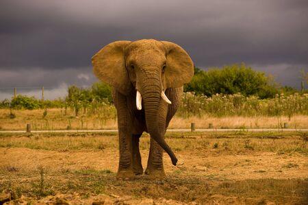 kruger national park: Single  African Elephant against a dark sky