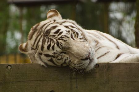 White tiger sleeping on a wooden fence photo