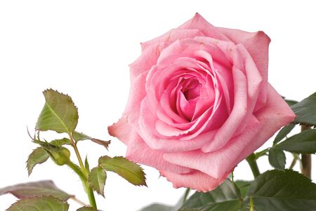rosa: Pink rose on stem with green leaves