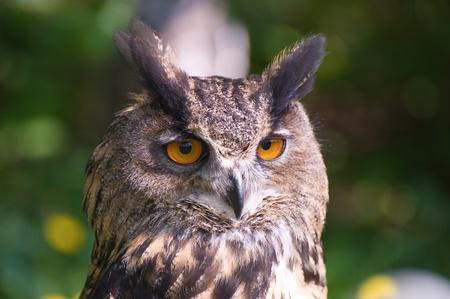 Owl portrait against foliage photo