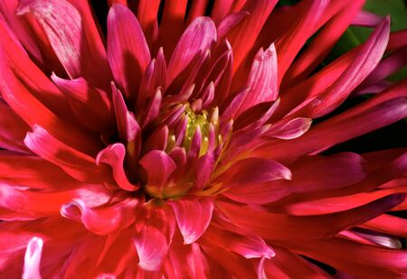 Red an yellow Chrysanthemum photo