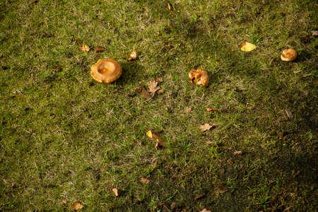 mushroom on a meadow at autumn 版權商用圖片