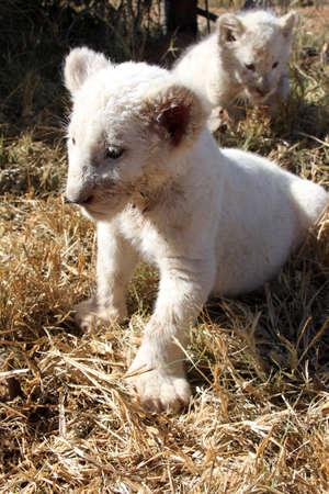 lion baby: Baby Lion Archivio Fotografico