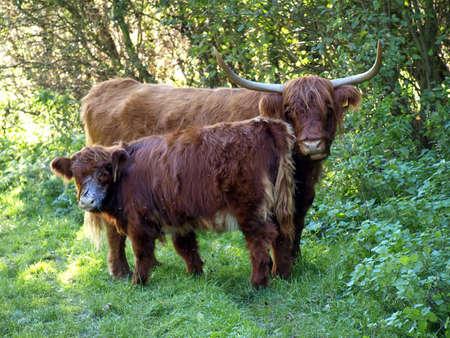 highlander: Highland Ganado